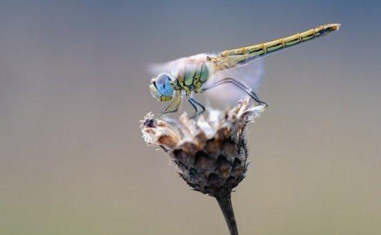 Yusufcuk Böceği
